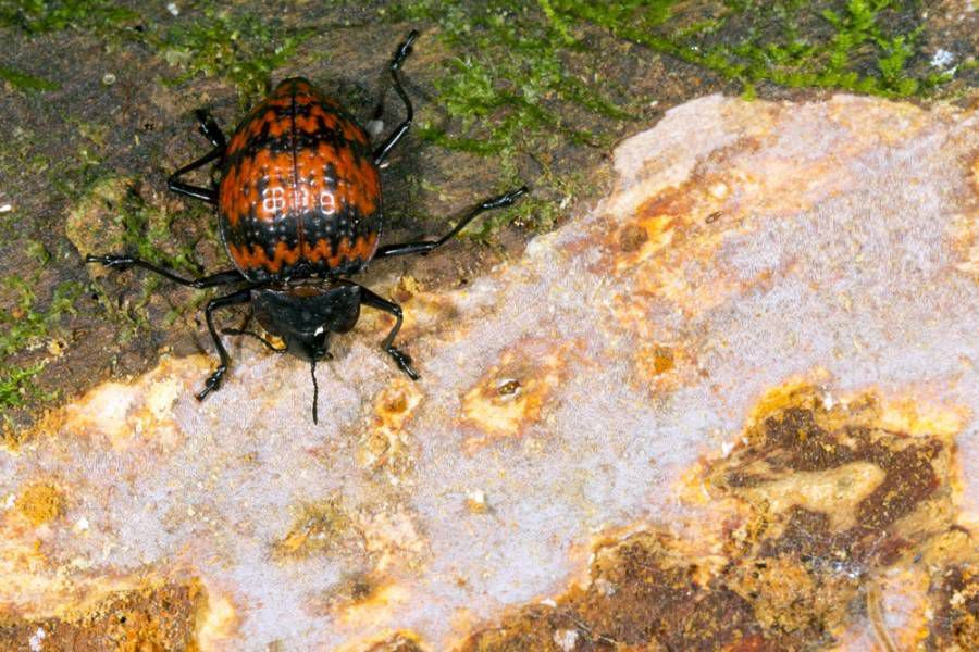 orange and black pleasing fungus beetle resting on a moss-covered rock