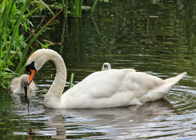 A swan and her two cygnets