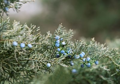 Close up of a Juniper tree with blueberries.