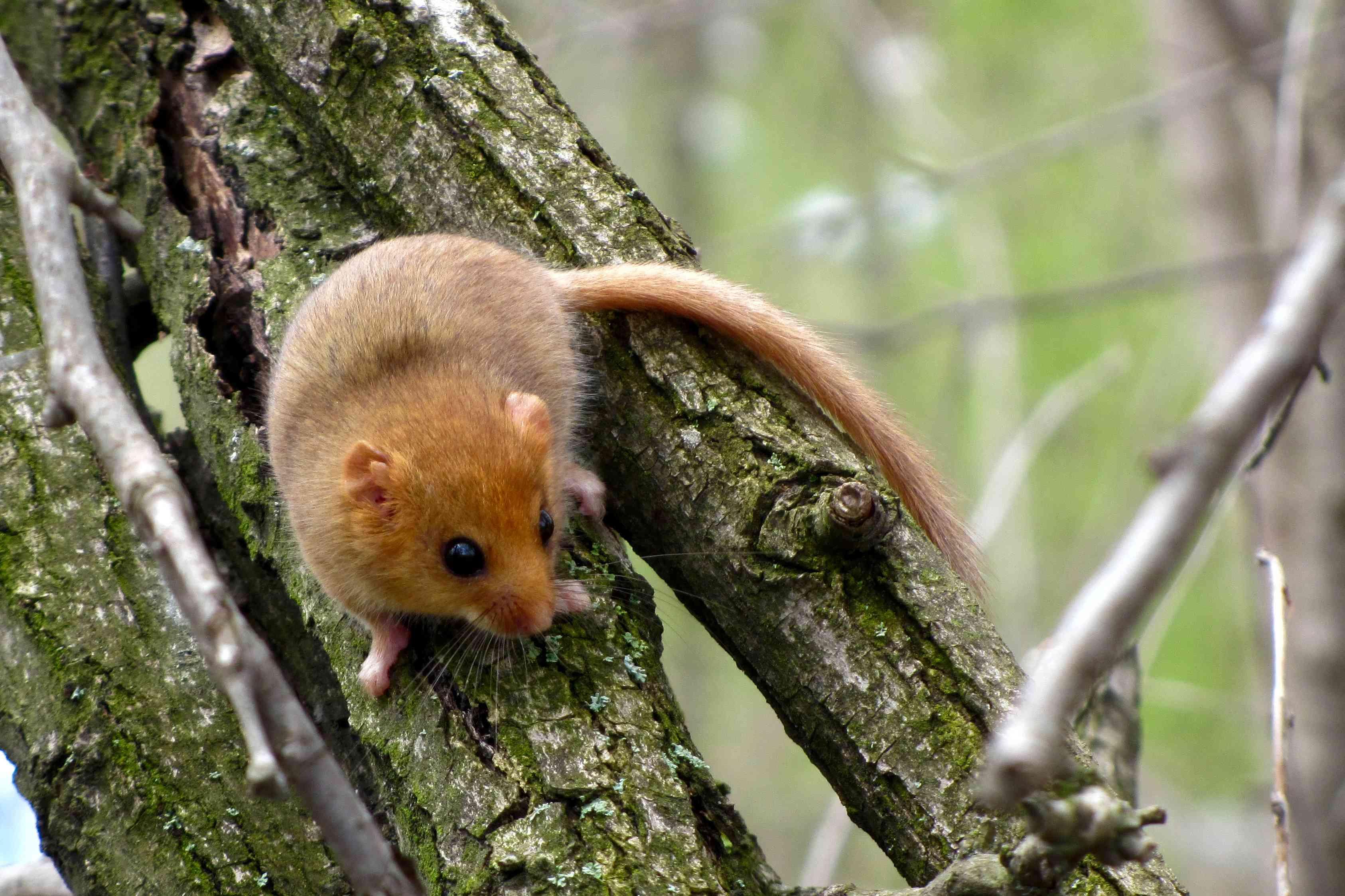 A Hazel Dormouse on a tree trunk.