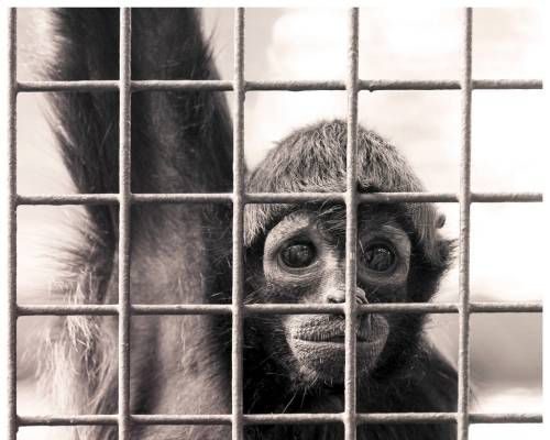 A small monkey alone in his cage