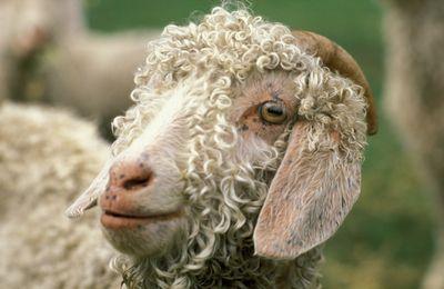 Close up of an angora goat