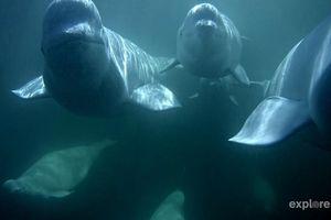 beluga whale on cam