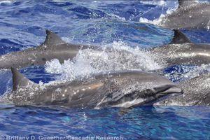 Fraser's dolphins