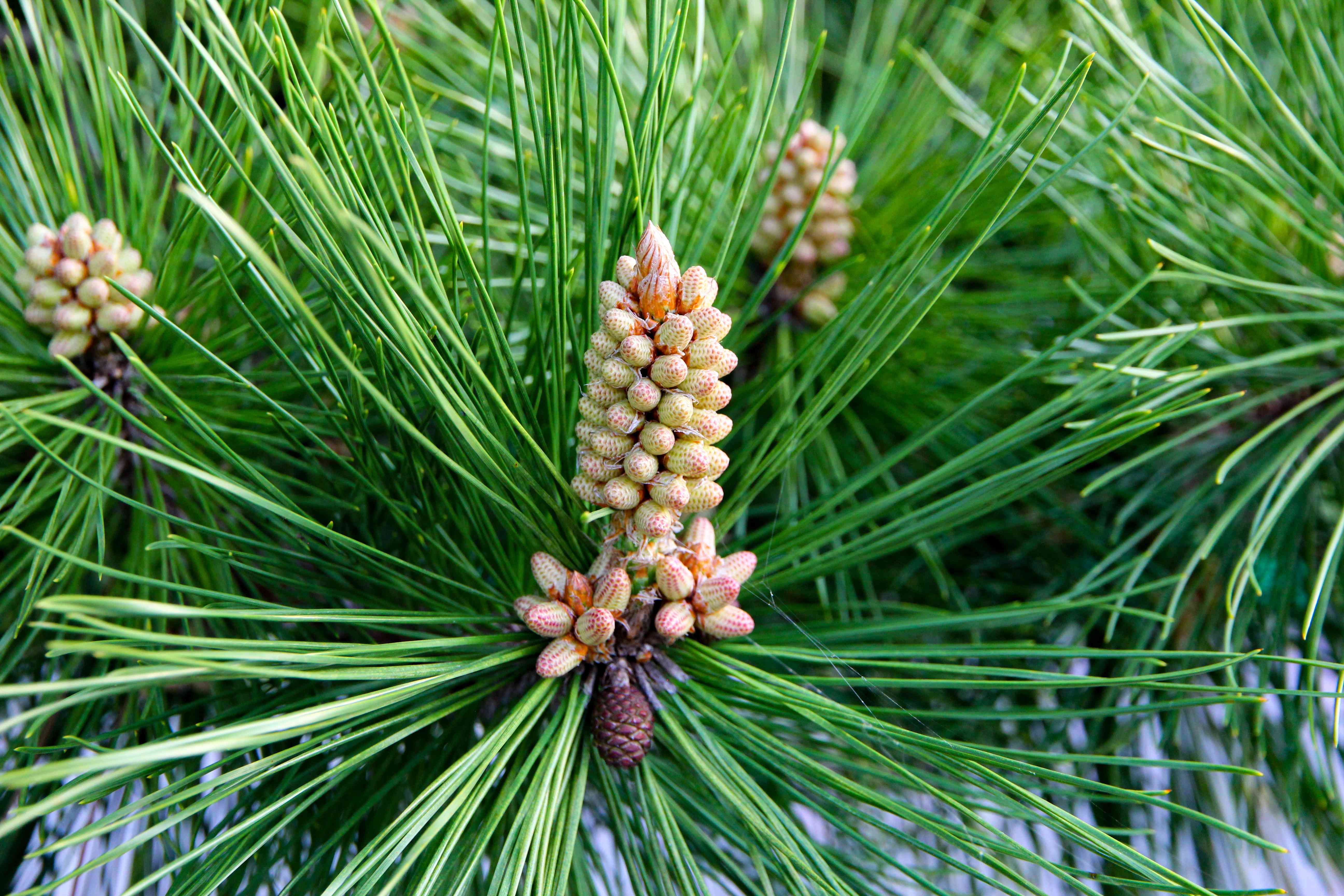 closeup shot of pine cone nestled among green pine leaves