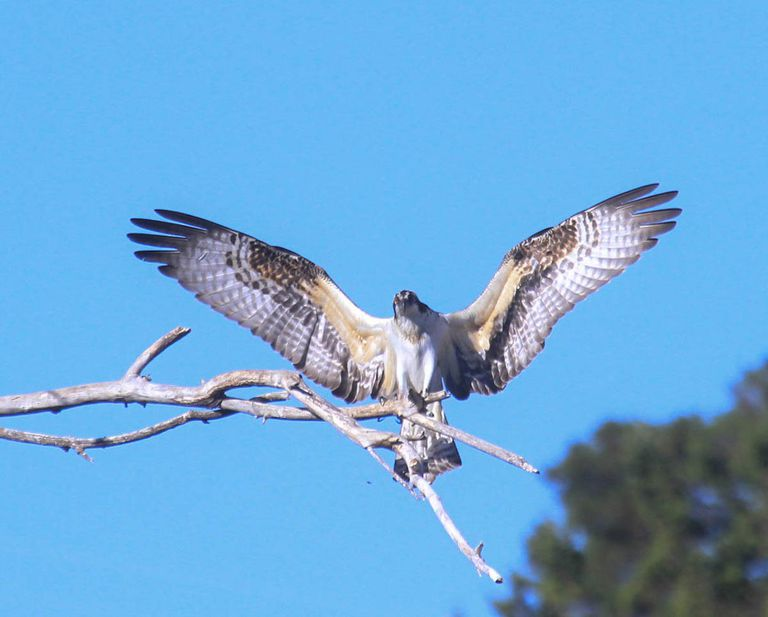 Osprey with wings outstretched against a blue sky