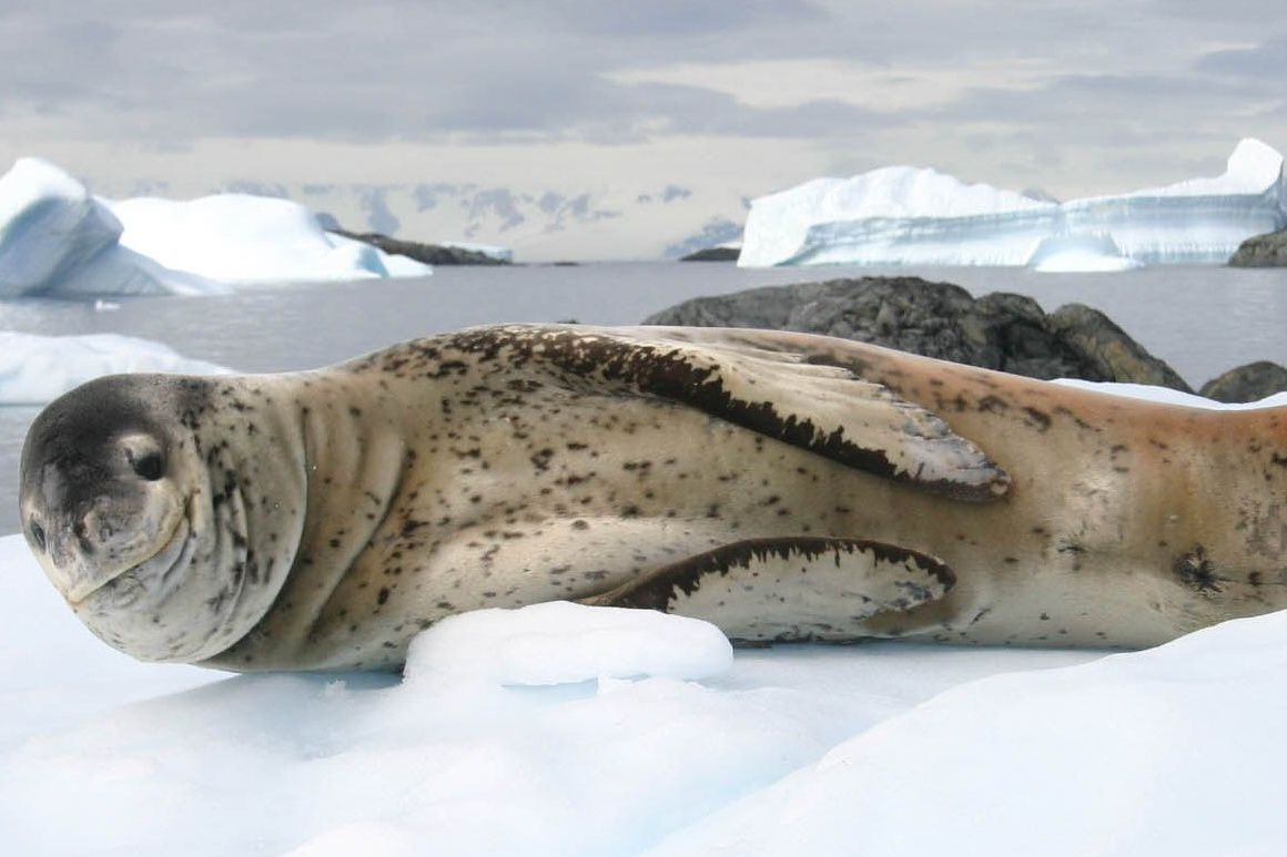 leopard seal hauled out on ice