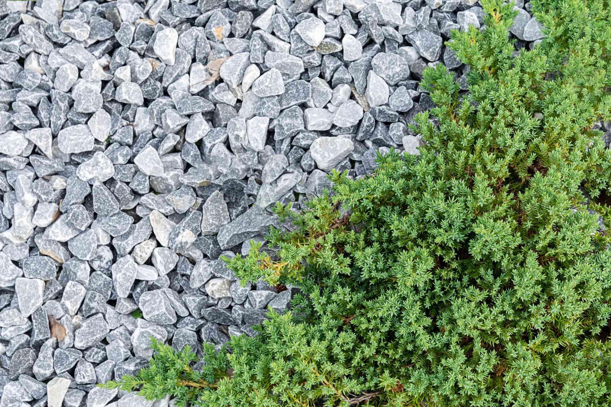 Creeping juniper taking over a rock garden