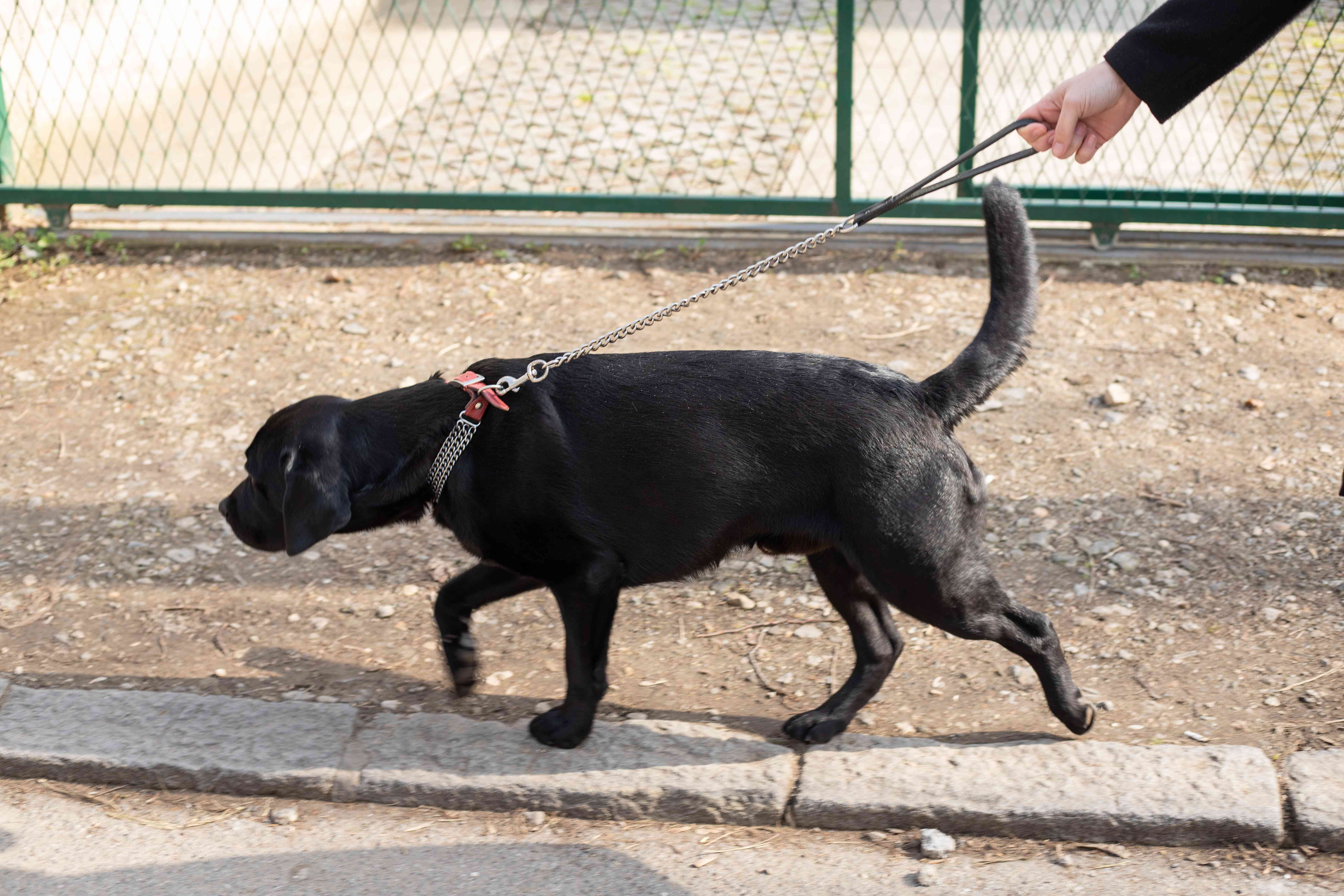 dog on chain leash not being allowed to smell on dirt walk