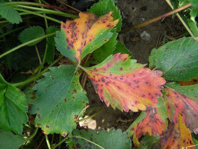 Leaf scorch on a plant