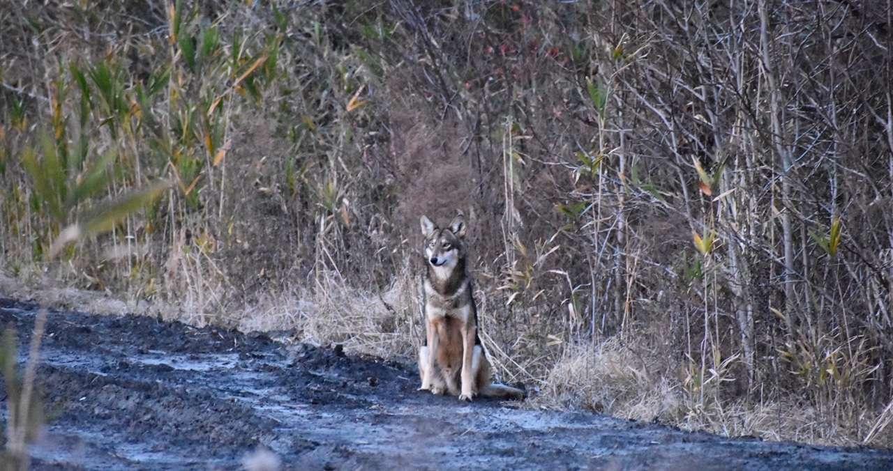 wild red wolf in North Carolina