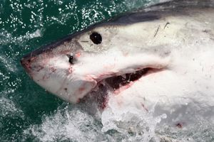 A close up of a Great White Shark.