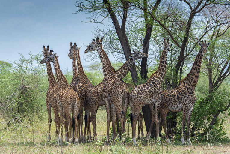 Herd of Giraffe in Tanzania Africa