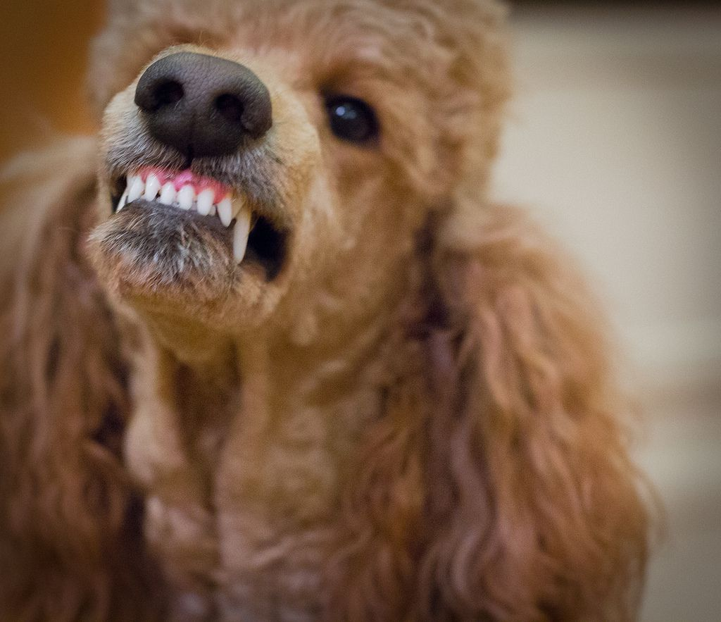 poodle growling