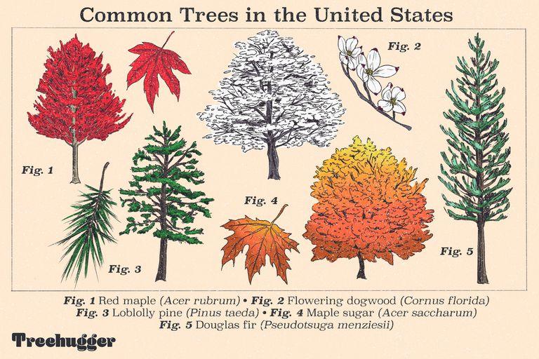 common trees in united states illo edit