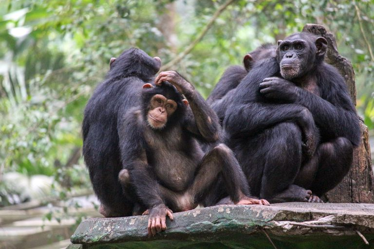 group of apes