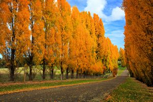 A stand of poplars in the orange hues of fall