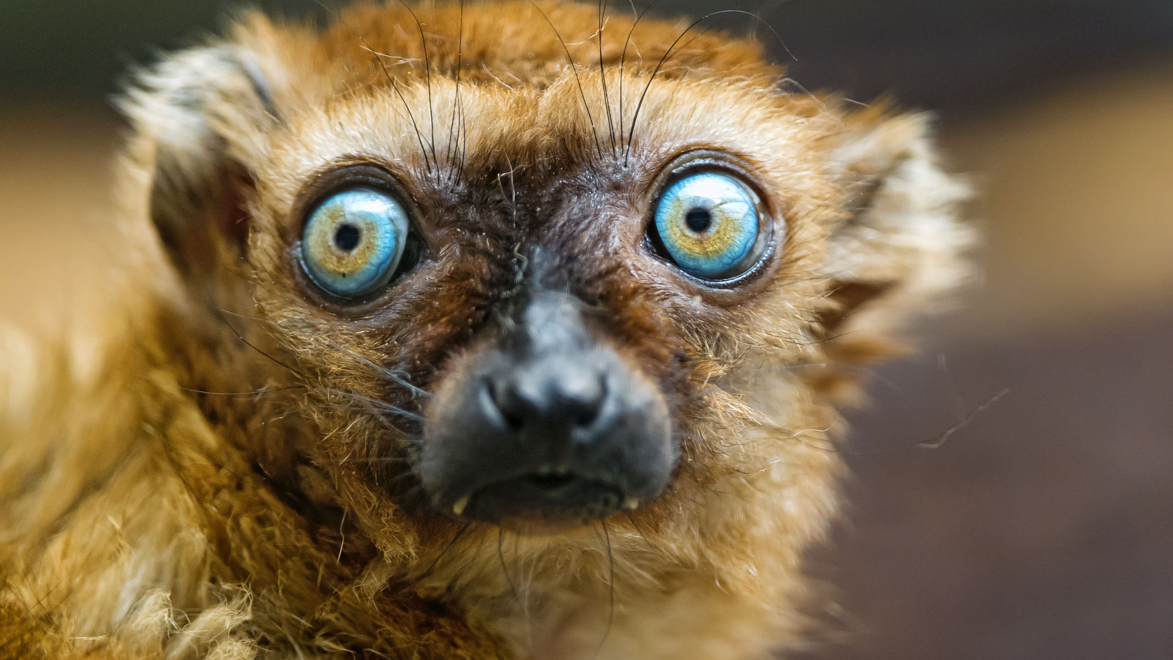 12 Incredible Facts About Lemurs