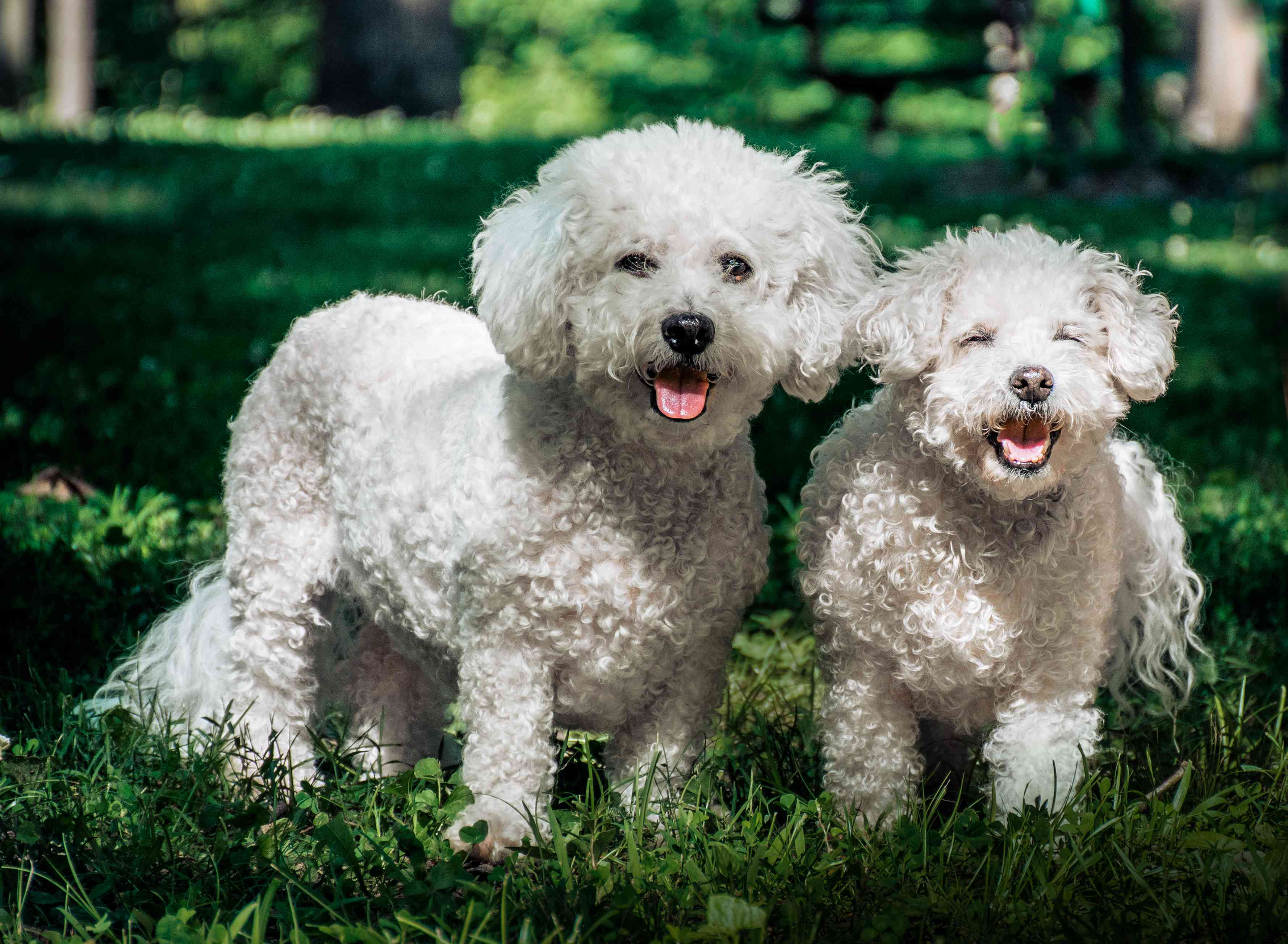 Two Bichon Frise dogs on the grass.