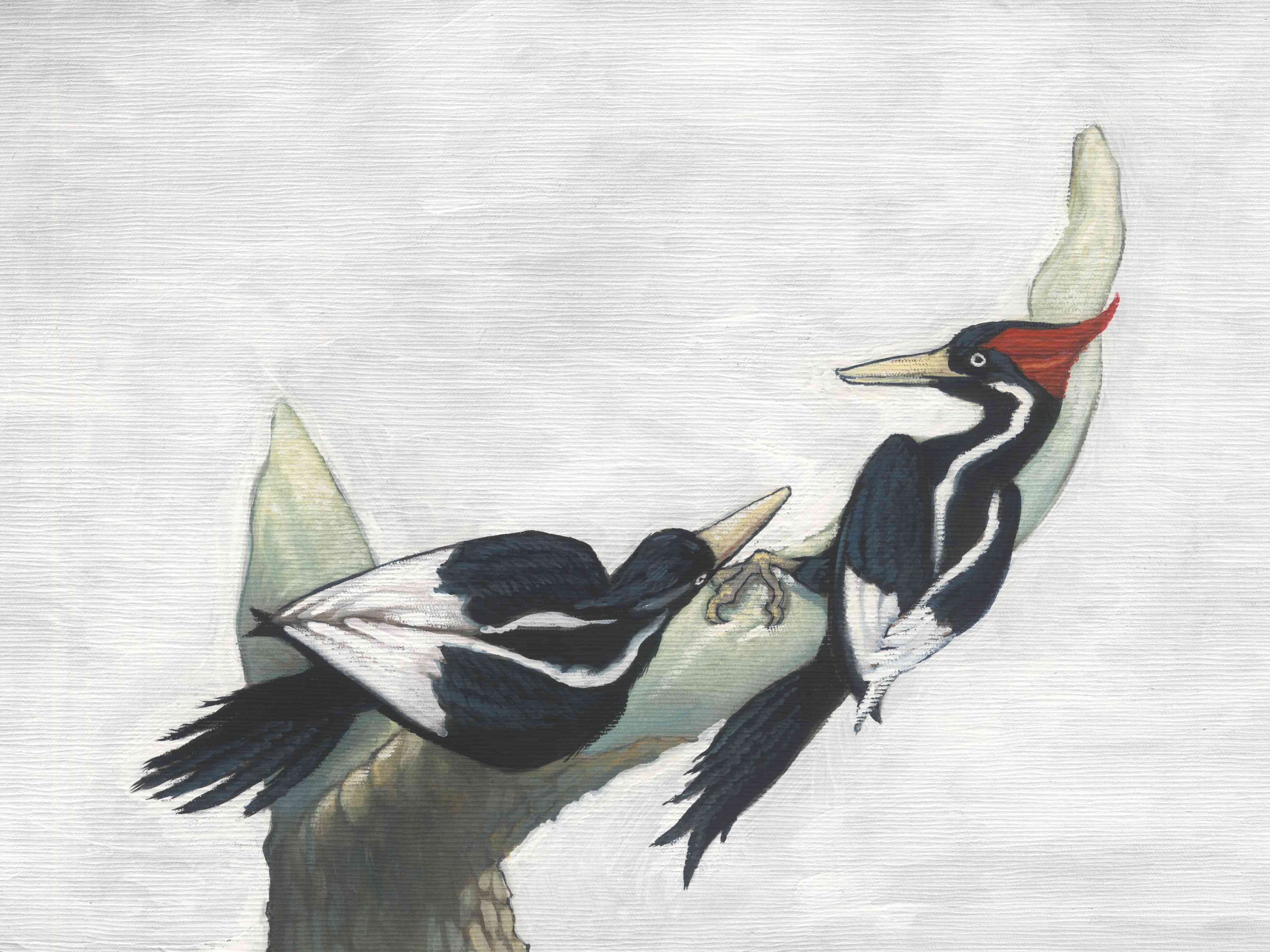 A drawing of two ivory-billed woodpeckers.