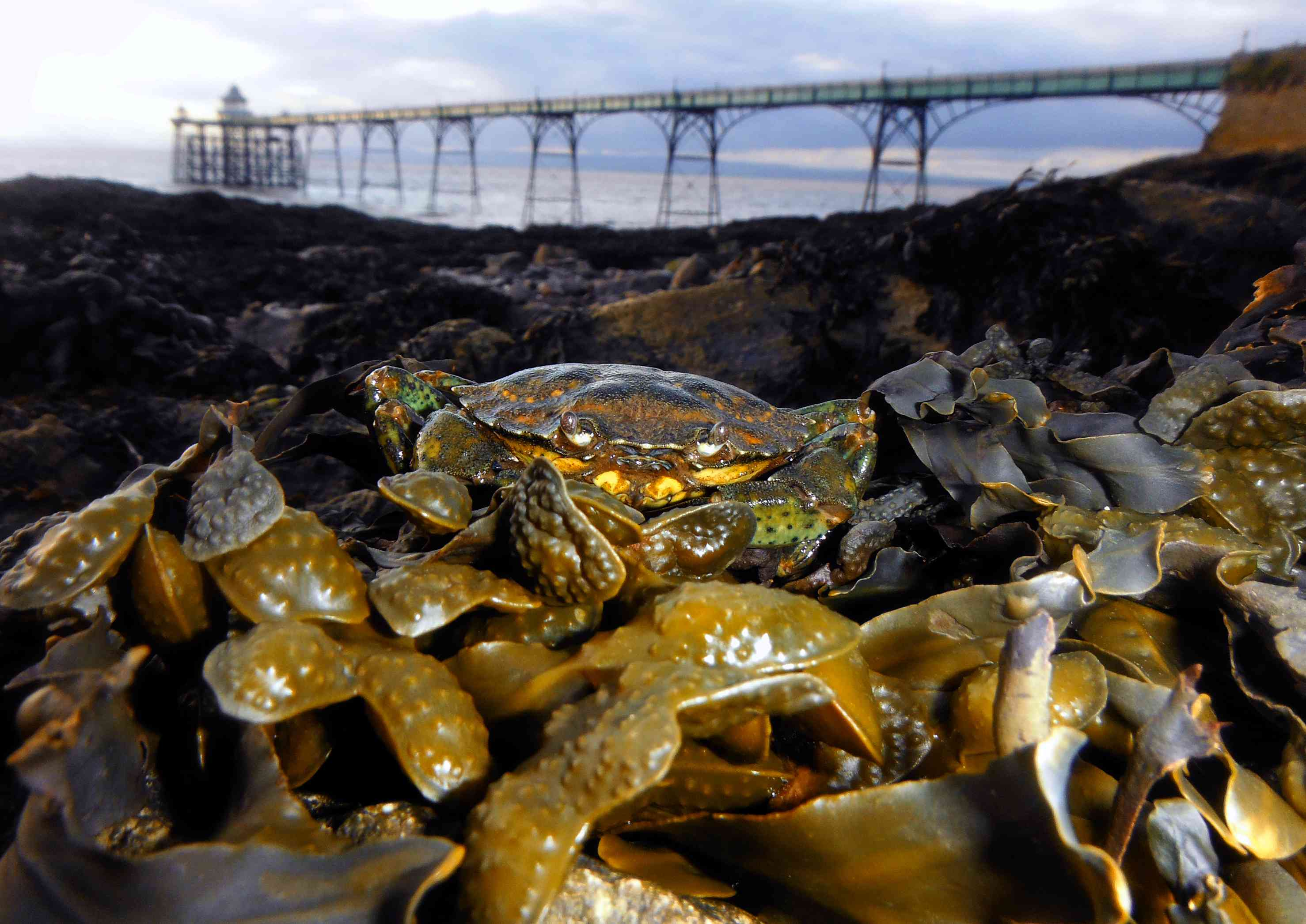 Common Shore crab resting on Seaweed in Clevedon