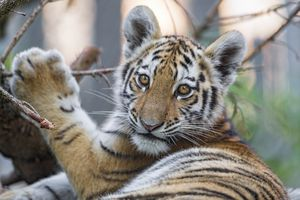 baby tiger with paw on branch