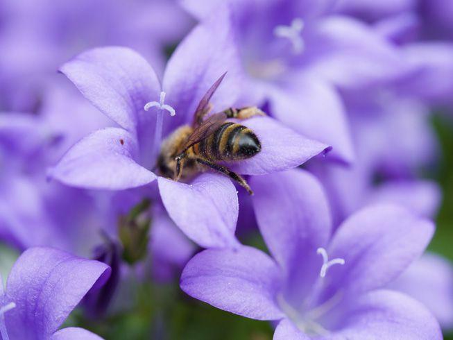 A bee investigates a purple flower