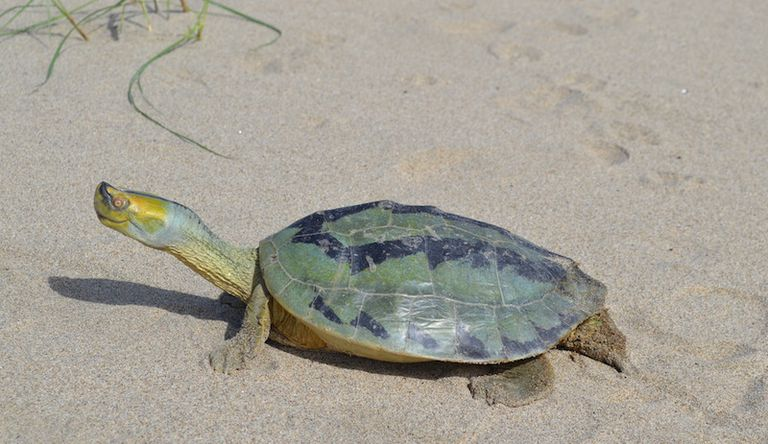 Hallan 44 huevos viables de una de las tortugas más amenazadas del planeta