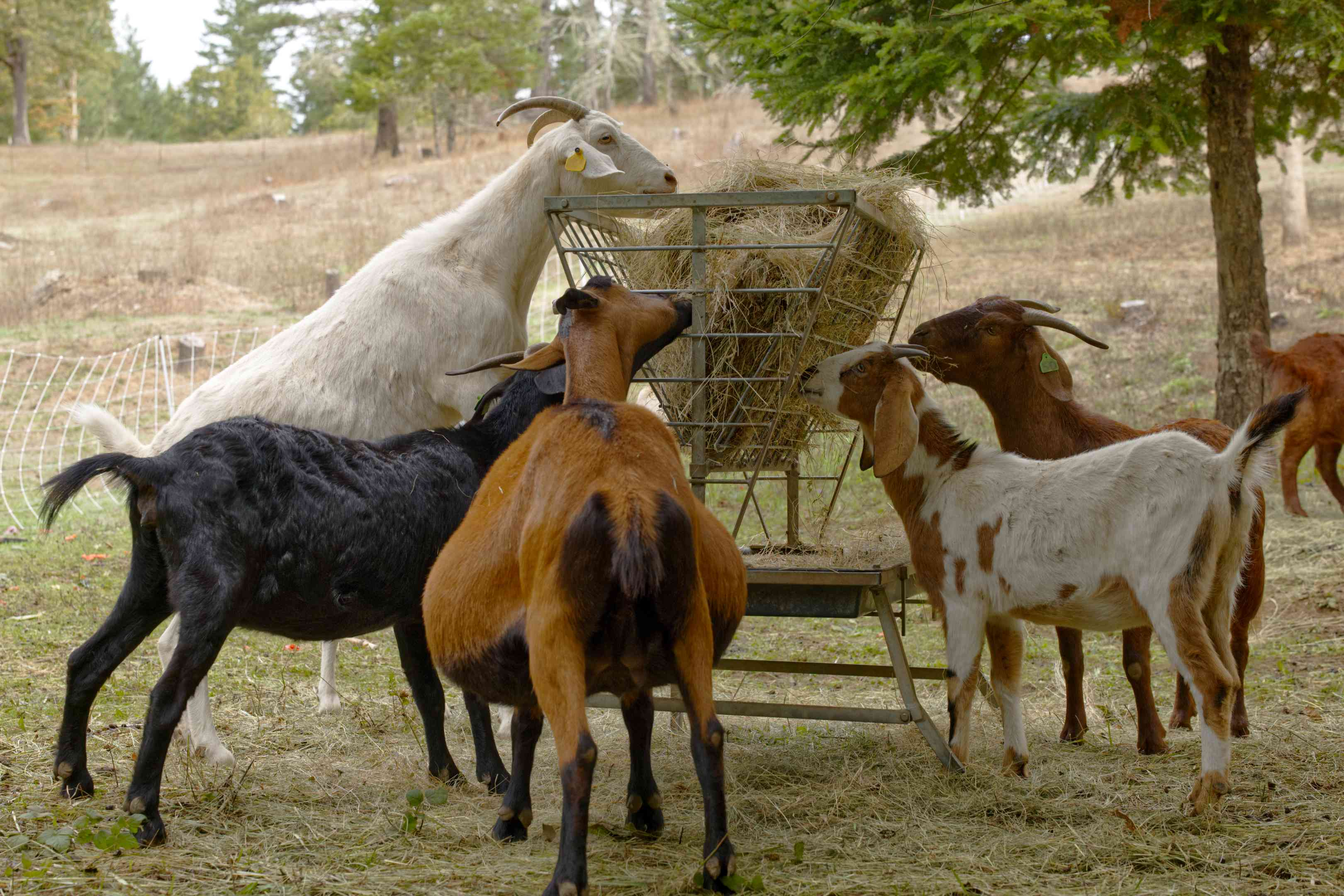 goats stand up on hind legs to eat hay out of metal raised container in pasture