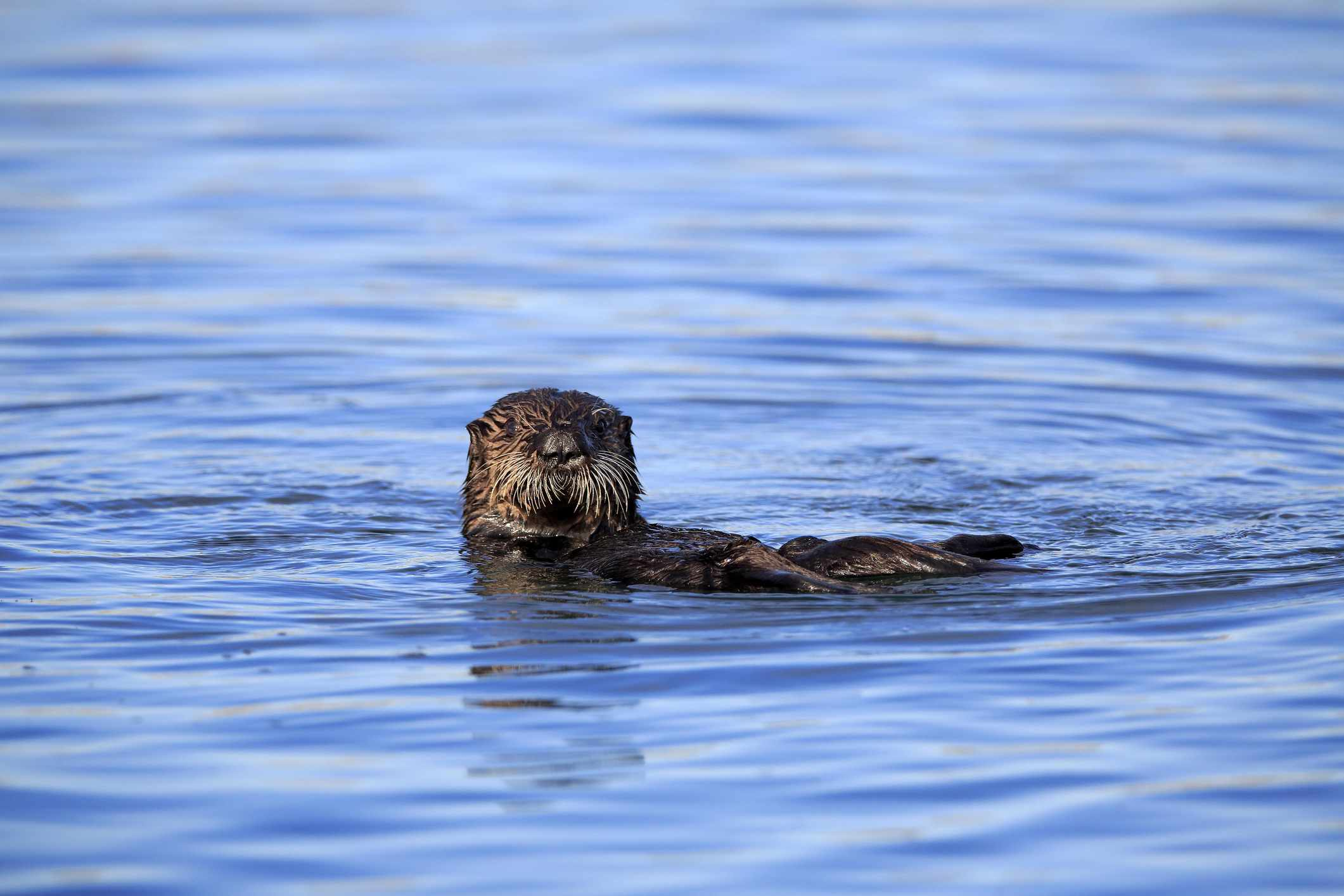 river otter swimming in blue water