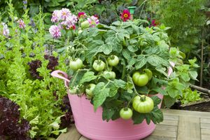 Pink bucket planted with tomatoes next to other vegetables and herbs