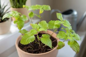 small starter lemon balm plant in terracotta container indoors