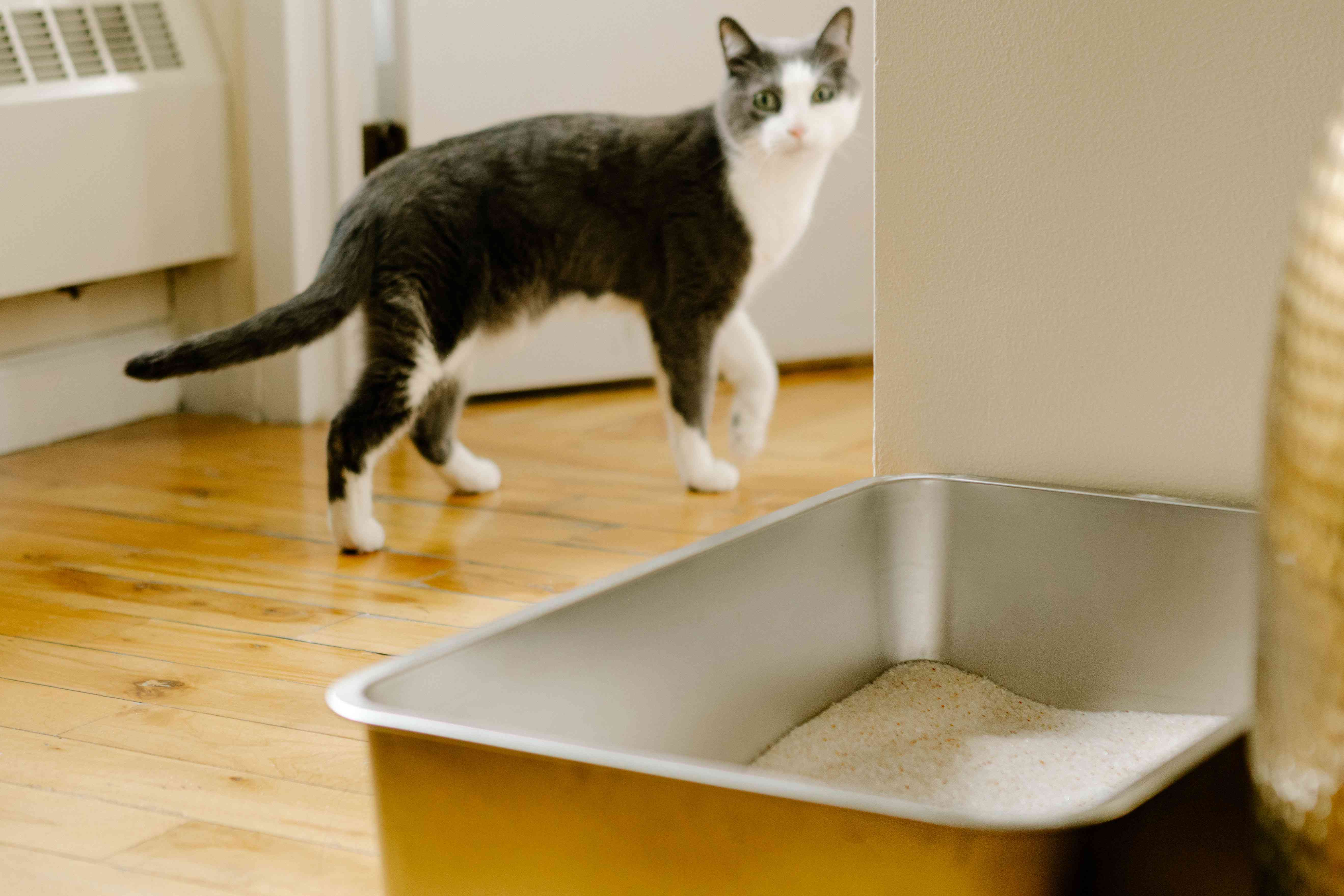kitty walks past a stainless steel litter box and pauses to look back