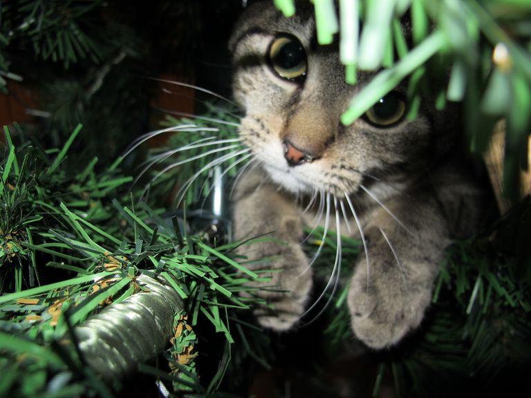 15 o más gatos dentro, encima y debajo de los árboles de Navidad
