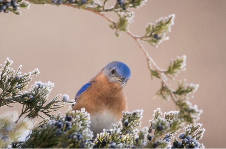 An Eastern bluebird looking at the camera