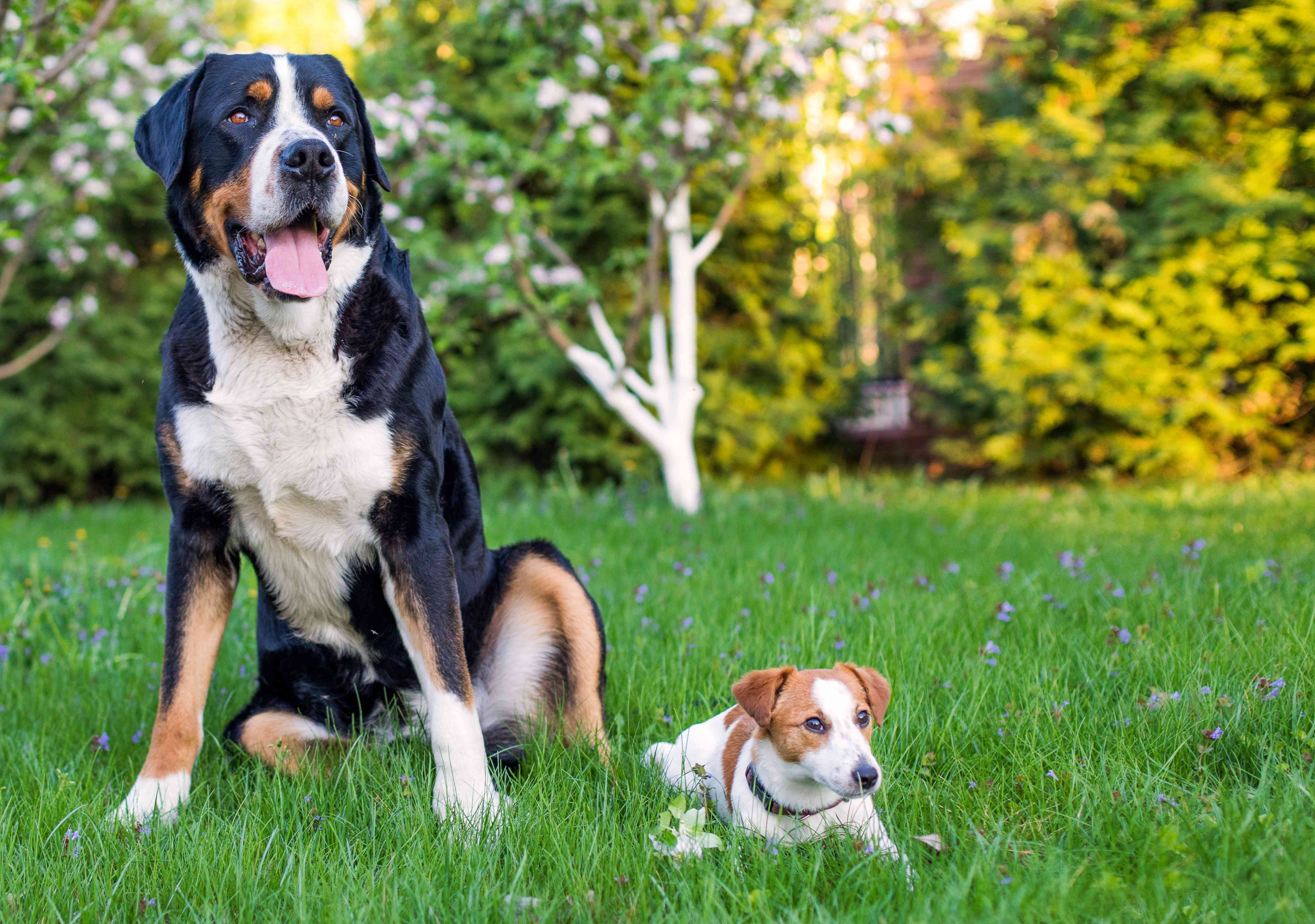 big dog and tiny dog sitting in the grass