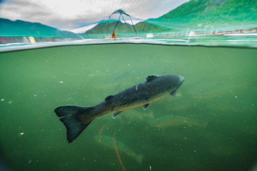salmon in net pen