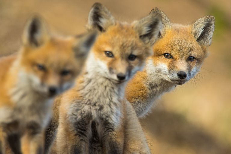 Have you ever been curious about the urban foxes in your neighborhood?