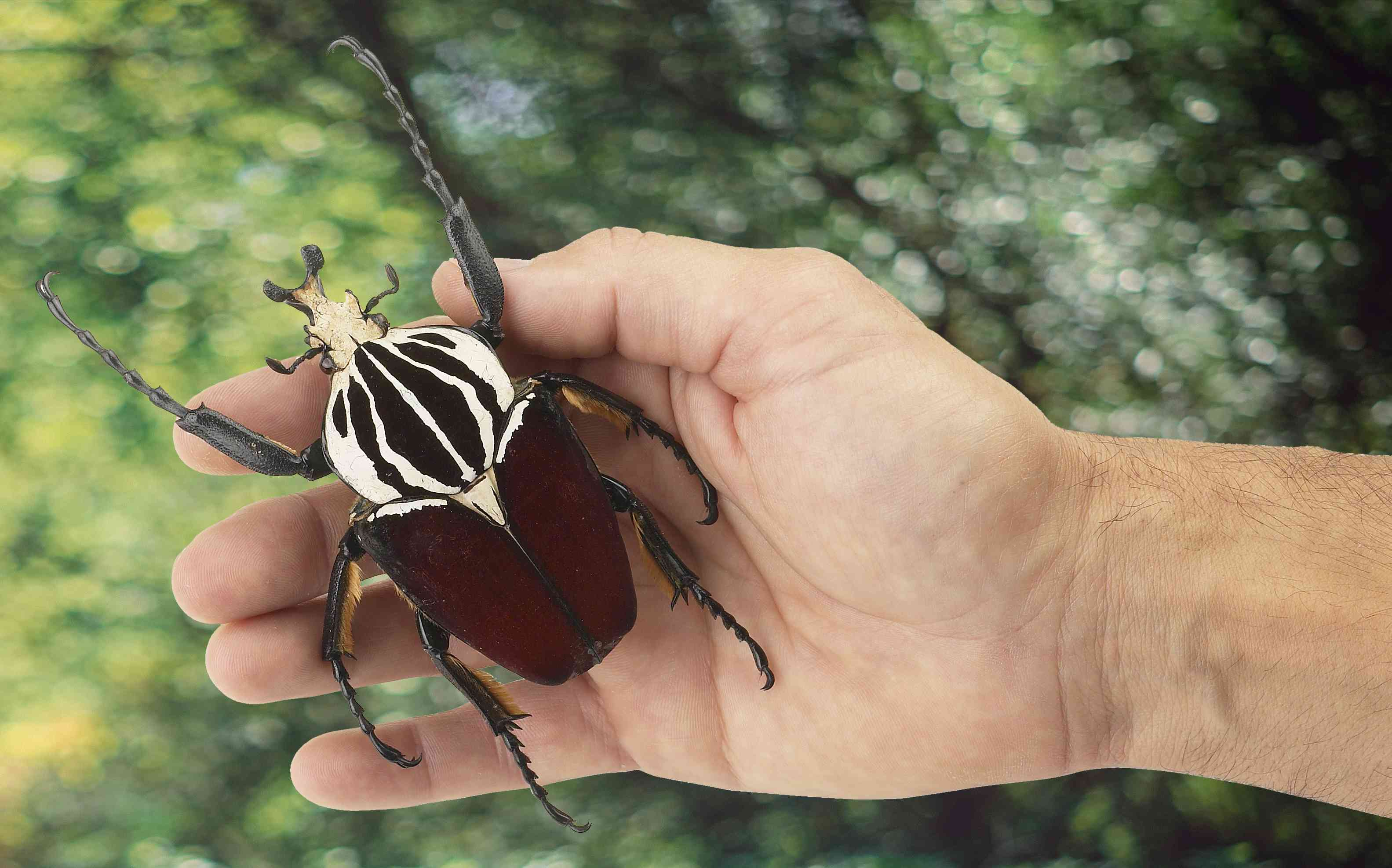 a brown, black, and white goliath beetle resting in a person's palm