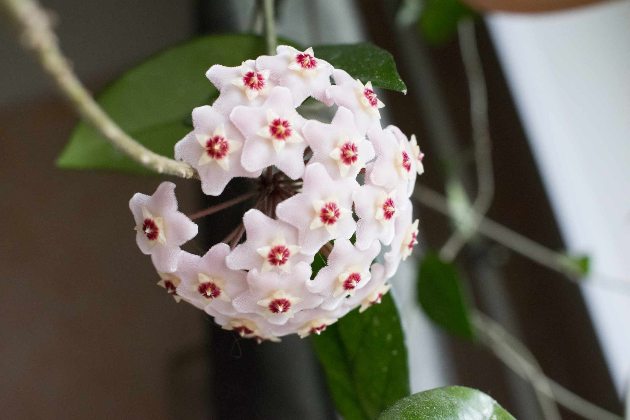 Close-up detail photo of flower wax plant or Hoya Carnosa