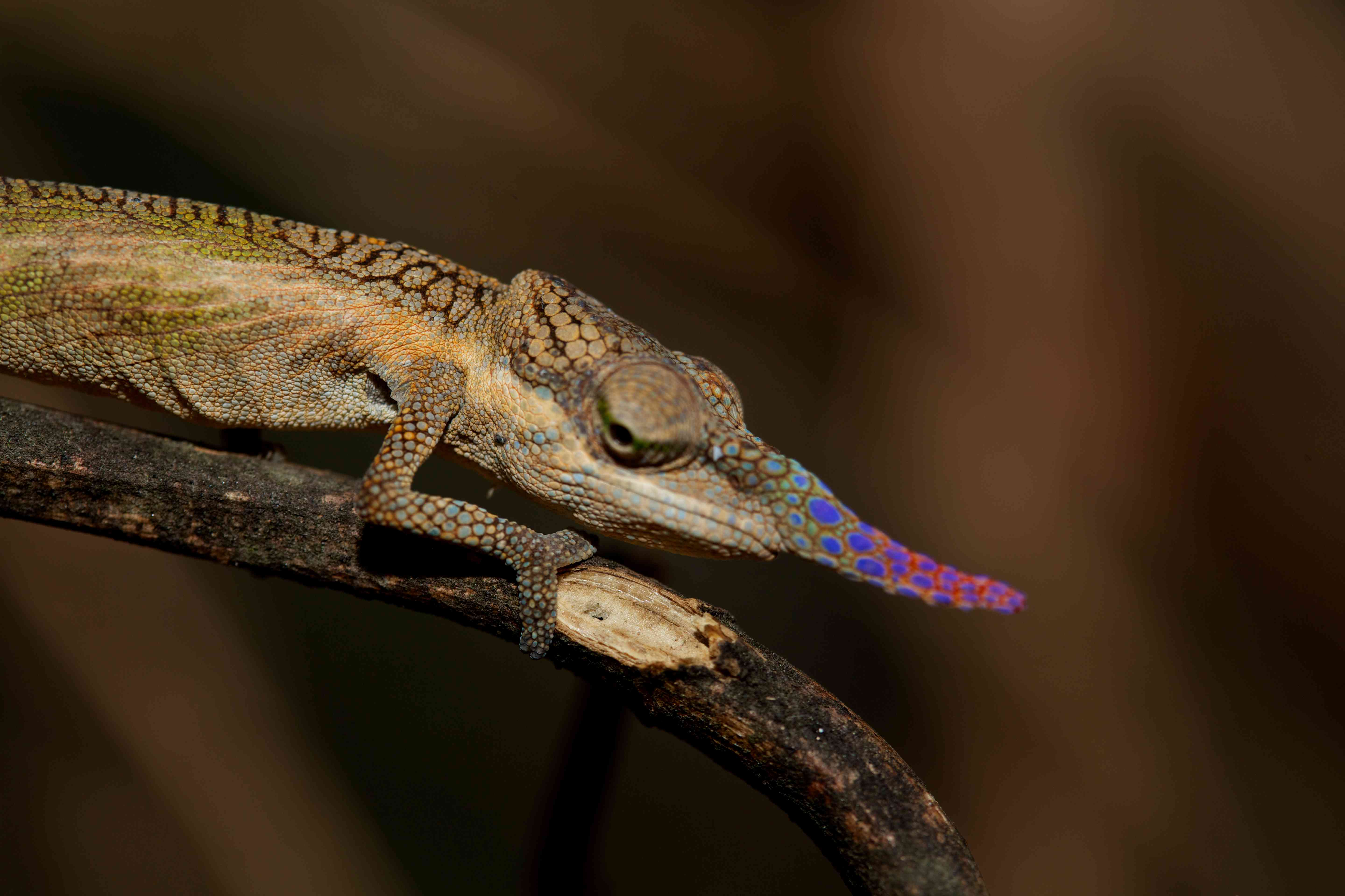 Lance-nosed chameleon with colorful snout on branch