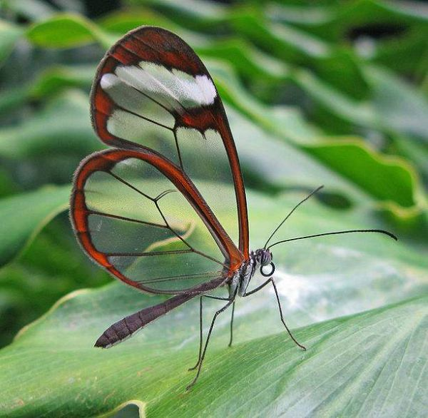 Glass wing butterfly photo