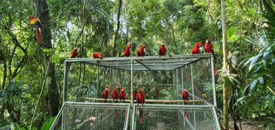 scarlet macaws released in Guatemala