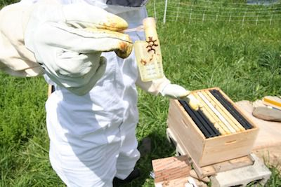 Beekeeper moving a queen in a queen cage