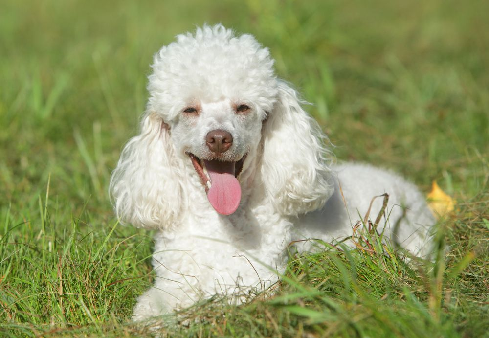 white miniature poodle lying in the grass