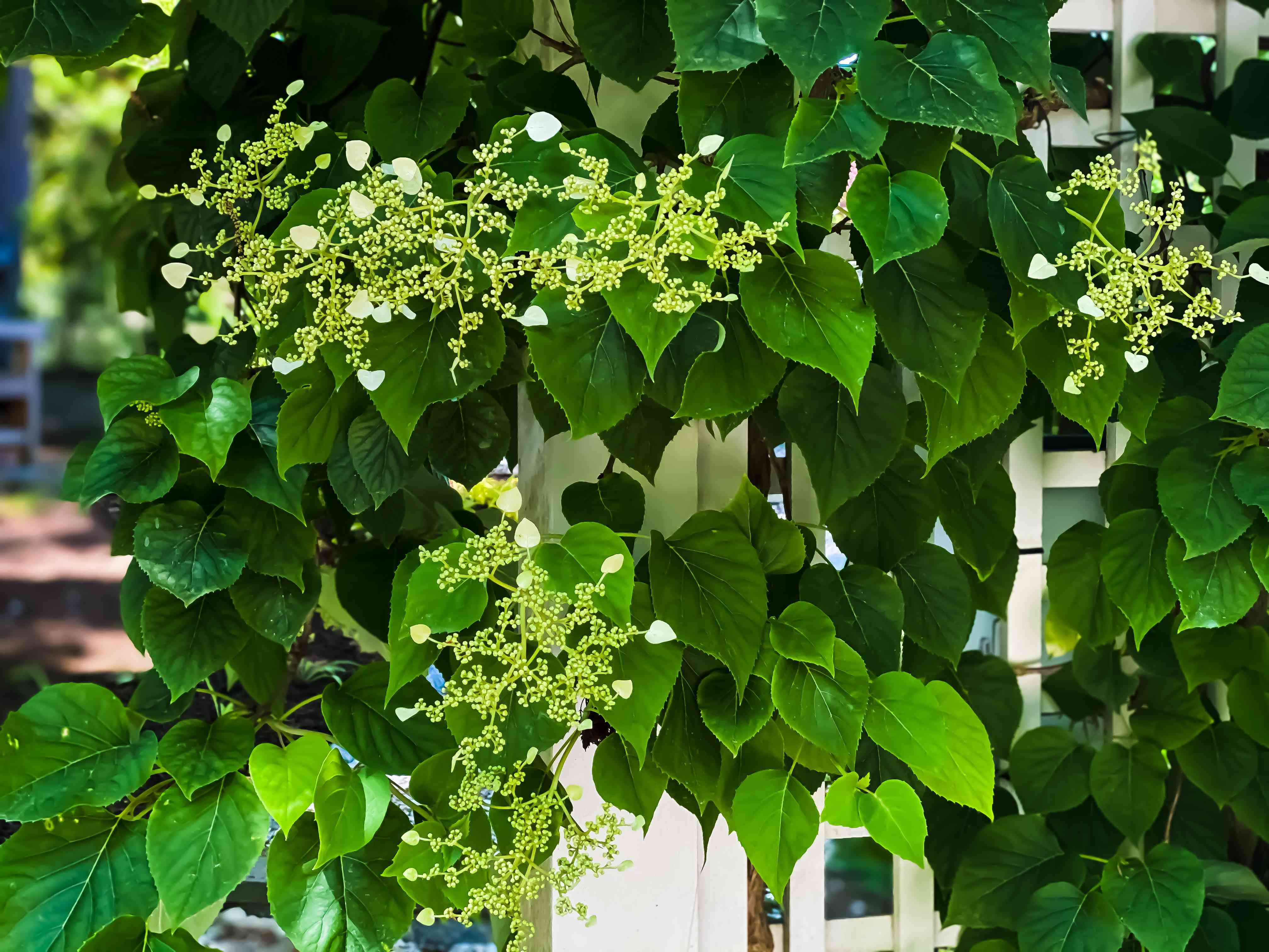 climbing hydrangea covered archway trellis in garden