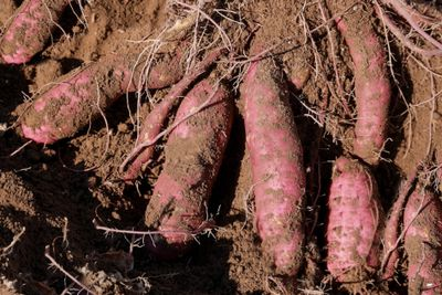 fully grown sweet potatoes with exposed roots lay half-covered in dirt