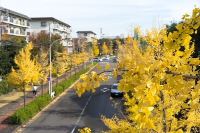 Yellow ginkgo leaves lining an urban street.