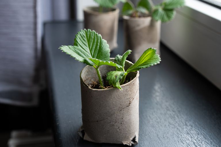 upcycled toilet paper roll as a seed starter with small plant growing inside