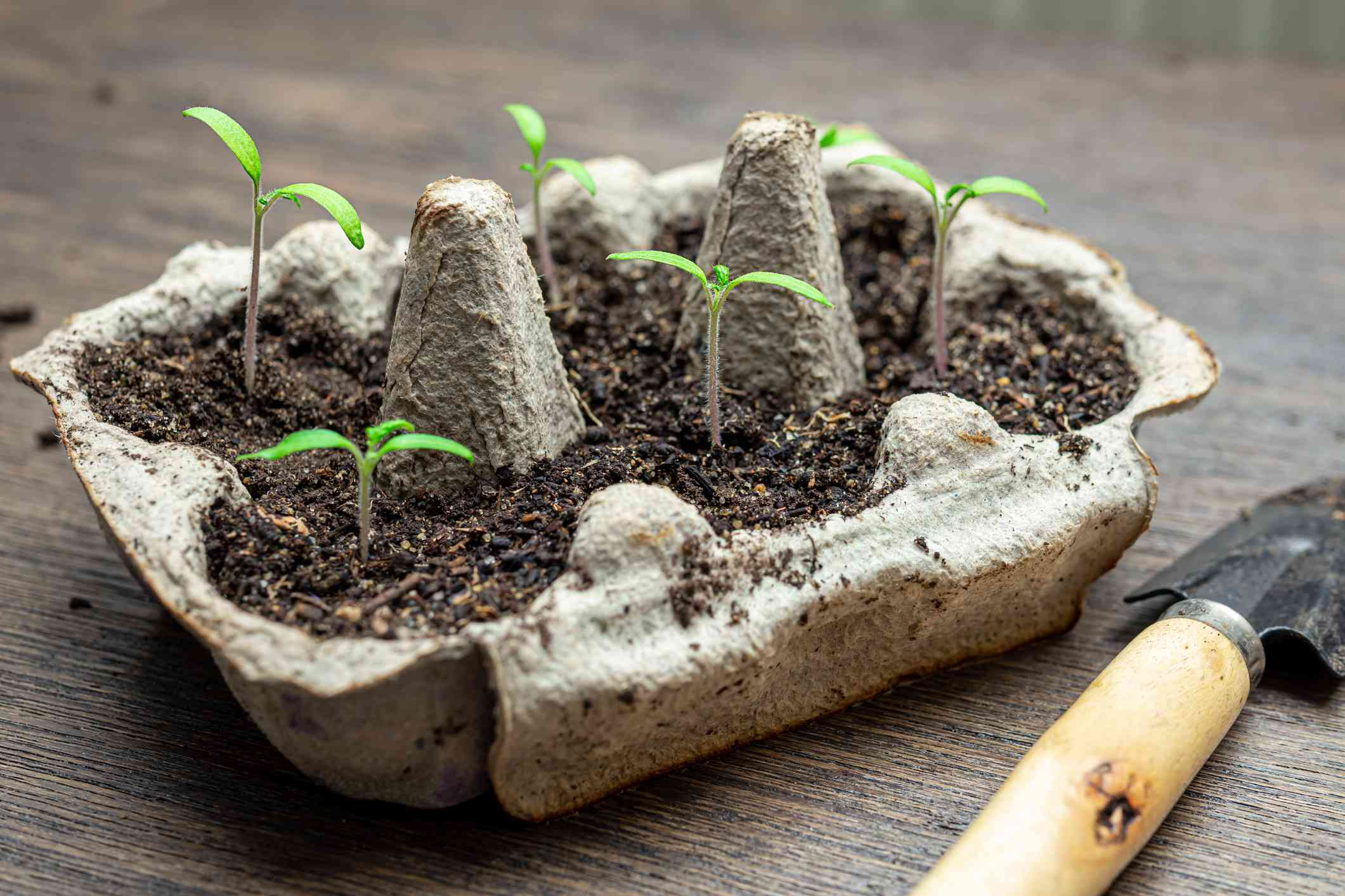 Reused egg box with sprouts